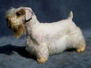 A Sealyham terrier. I almost think this one is stuffed.