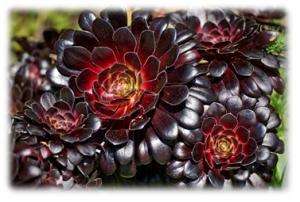 Aeonium manriqueorum – Zwartkop Purple Crest