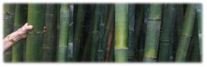 Bambusa oldhamii – Giant Timber Bamboo 1