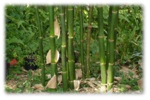 Bambusa oldhamii – Giant Timber Bamboo 2