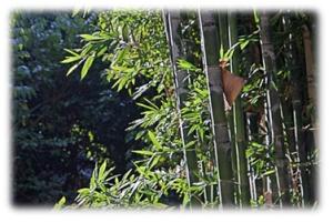 Bambusa oldhamii – Giant Timber Bamboo 3