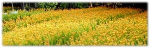 Bulbine frutescens – Orange Stalked Bulbine