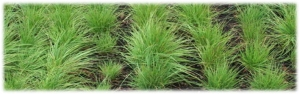 Carex pansa – Dune Sedge