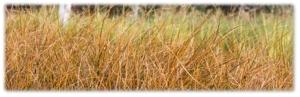 Carex testacea – Orange New Zealand Sedge