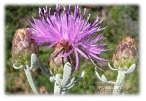 Centaurea cineraria – Dusty Miller