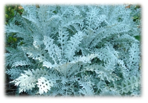 Centaurea cineraria – 'Dusty Miller'