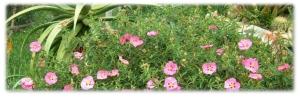 Cistus x purpureas – Orchid Rockrose